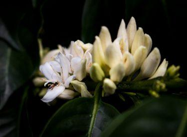 Flor de Café e Insecto